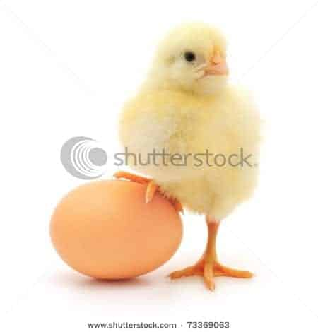 cute chicken stock photo Shutterstock