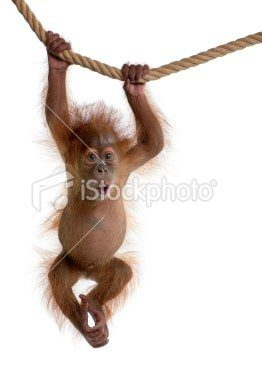 stock photo 11260763 baby sumatran orangutan hanging on rope against white background > Most cutest Stock Photos