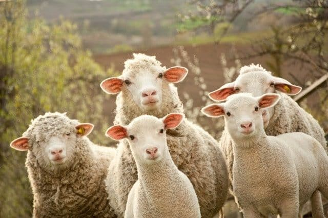 Depositphotos Most Downloaded Sheep Lambs