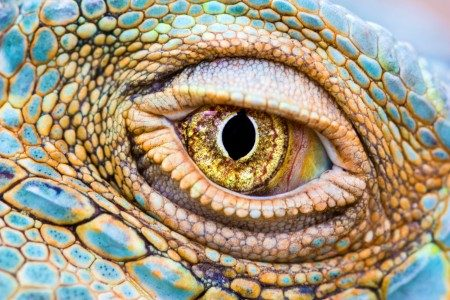 Close-up of iguana eye