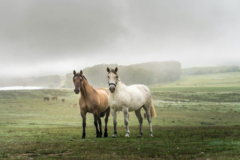 Horses in green field with mist